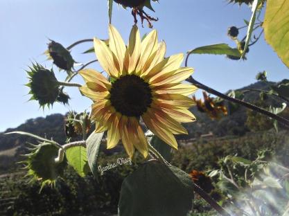 JD Sun Flower